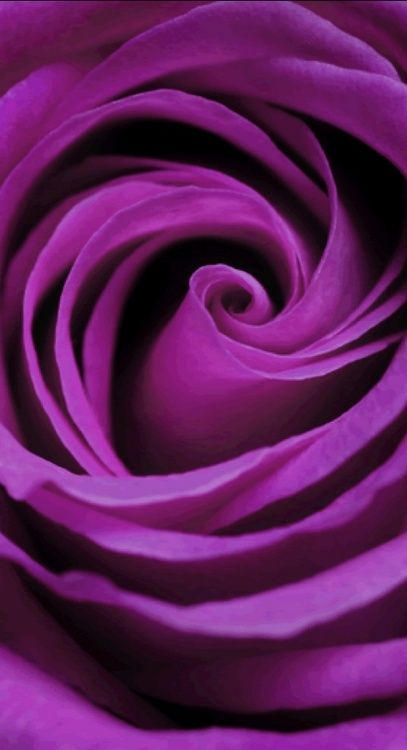 Rose ~ Bright Purple