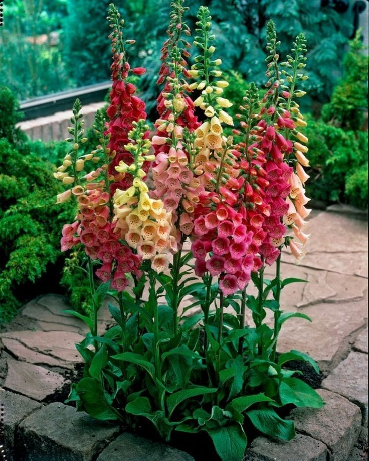 Decorative Rocks Ideas : Easy Cottage Garden Foxglove Flower Combination Color (…