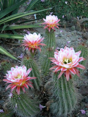 Echinopsis First Light by The Ruth Bancroft Garden, via Flickr
