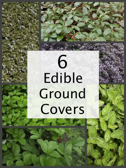6 Edible Ground Cover Plants For Your Yard...http://homestead-and-survival.com/6-edible-ground-cover-plants-for-your-yard/