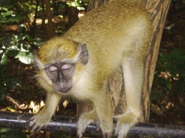 This Bajan Green Monkey clearly had too much to drink. lol .. Was it a shot of Mount Gay Rum or COCKSPUR Rum