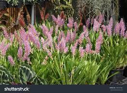 Image result for bromeliad aechmea