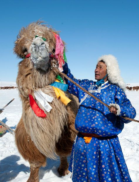 A herdsman decorates a camel in celebration of the traditional livestock prosperity festival at Hexigten Banner  in Chifeng, Mongolia