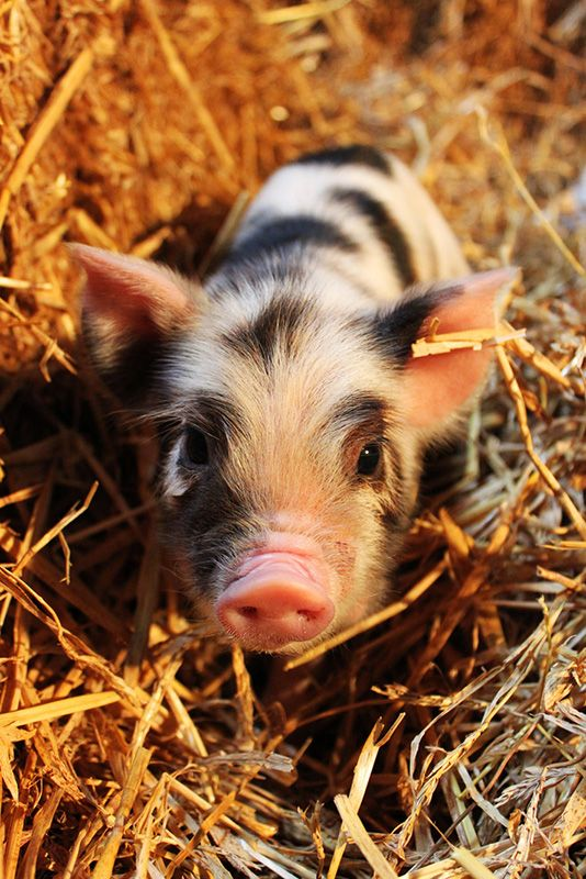 Kune Kune piglet. We had a little black one while living in nz. The kids called him furby... He lived more inside than outside. Adorable Pets...
