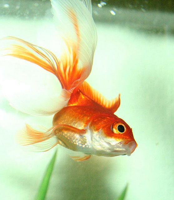 a description of the goldfish and the fisherman To his wife the old fisherman hastened to tell her about this great marvel «i  caught only one fish this morning – a goldfish it was, most.