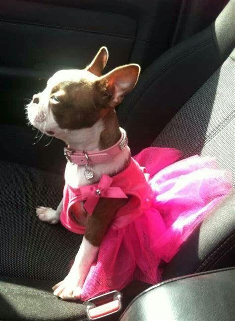 17 Best images about Boston Bull Terrier on Pinterest | High five, Boston bull terrier and ...