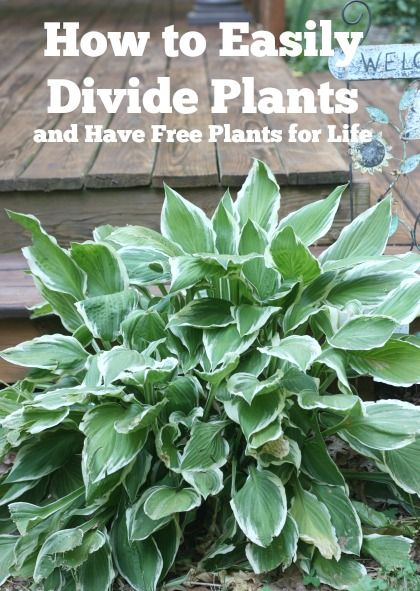 This is one of the best gardening tips I was ever given many years ago. A simple way to have free plants for life. #hosta #daylilies #garden #diy