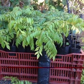 how to grow curry leaves plant in uk