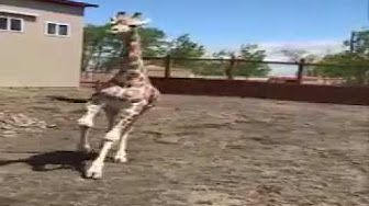 Tajiri the Giraffe Running Outside on July of 27th - YouTube