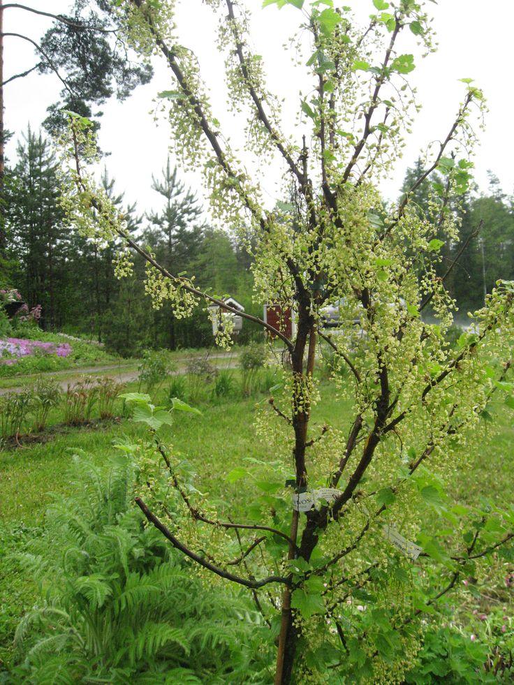 Rungollinen vaaleanpunainen viinimarja, jossa aivan mielettömästi raakileita. Sadekesä tuhosi sadon.