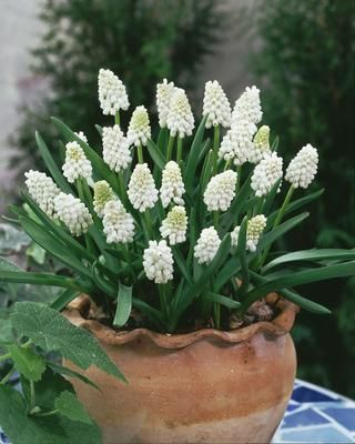 white muscari bulbs. flower mar-apr. height 10-30 cm. (from Peter Nyssen)