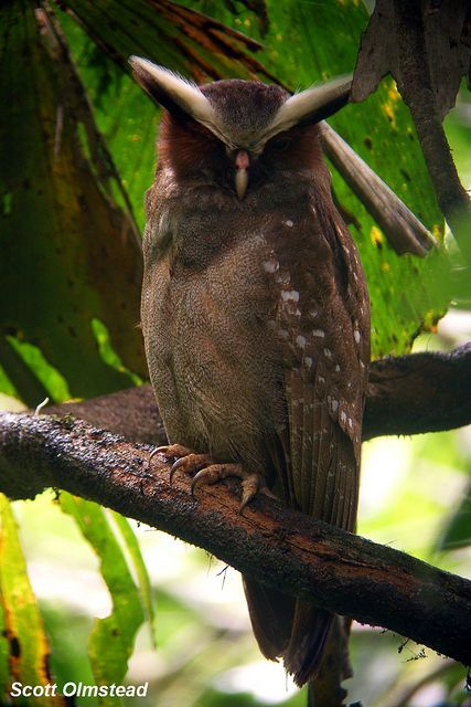 Crested Owl #BirdsofPrey #BirdofPrey #Bird of Prey #LIFECommunity #LIFECommunity #Favorites From Pin Board #09