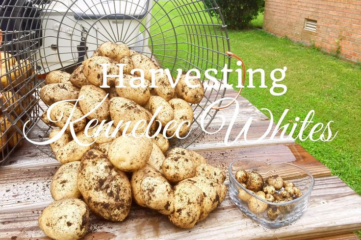 HD Container Grown Potato Harvest (Kennebec Whites)