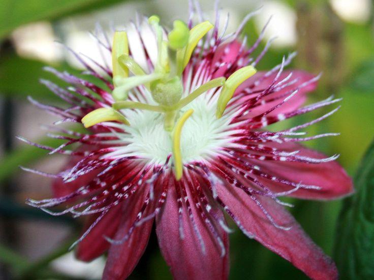 bakgrundsbilder - Tropiska blommor: http://wallpapic.se/naturen/tropiska-blommor/wallpaper-10105
