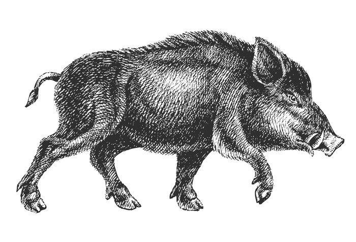 Fotomural Dibujo Vectorial Jabali Profesional Pixers Vivimos Para Cambiar Dibujo Vectorial Ilustraciones De Animales Dibujos