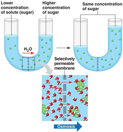Osmosis is the diffusion of water molecules across a selectively permeable membrane. Molecules move to a higher solute concentration. The osmotic pressure is the minimum pressure required to maintain an equilibrium that doesn't have any net movement of solvent.
