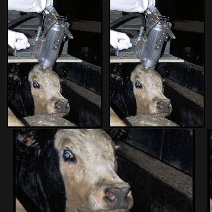#RositaCelentano Rosita Celentano: Guardate bene lo sguardo di questa mucca! Vi chiedo solo di prendere consapevolezza che anche gli animali provano emozioni esattamente come noi: dolore, stress, paura! Non lo dico io ma la scienza. Non è un'opinione opinabile, è così. Chiedo solo di informarvi. Informarvi su cosa mangiate realmente, così da rendere il sacrificio di una vita, qualunque essa sia, nobile! Cercate allevatori che rendono nobile la vita delle bestie p