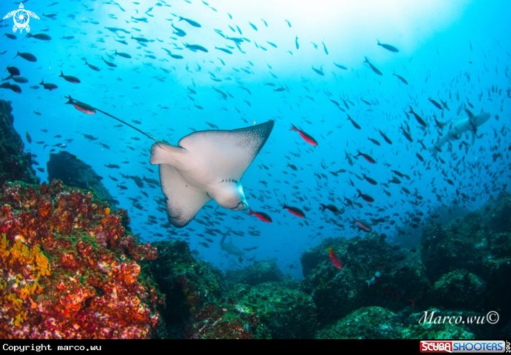 Eagle ray in Galapagos