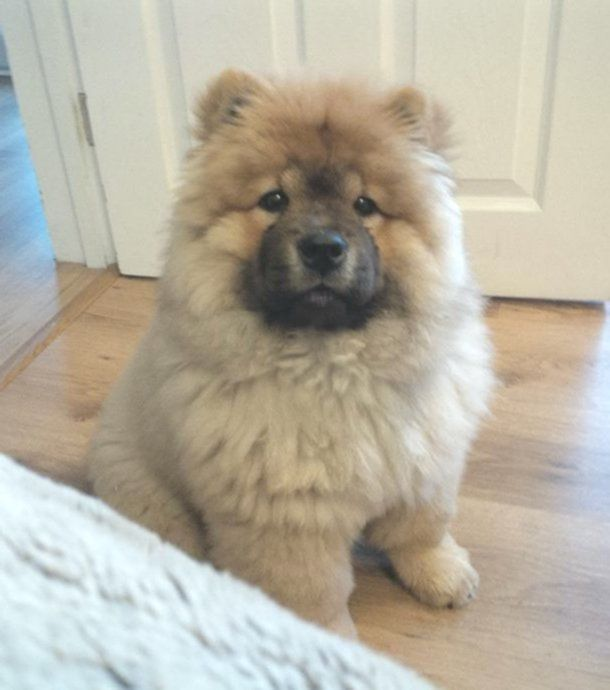 10 Niedliche Chow Chow Babys Nur Fur Dich Hundebabys Hundebaby Flauschige Hunde
