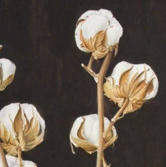 SO gorgeous. Sketching in Nature: COTTON PLANT again!