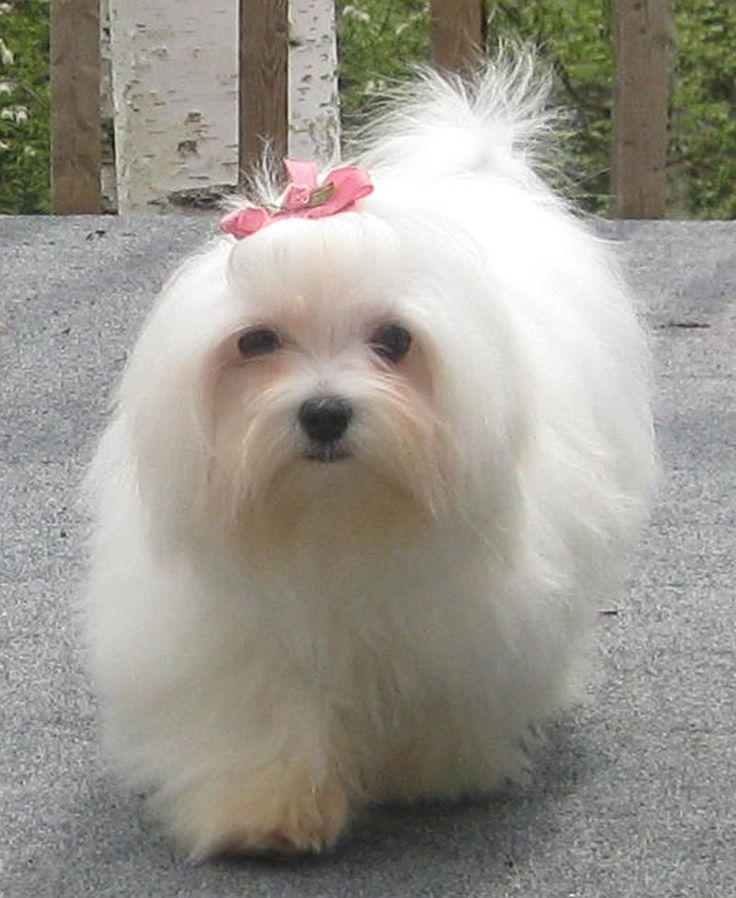Best 20+ Maltipoo breeders ideas on Pinterest