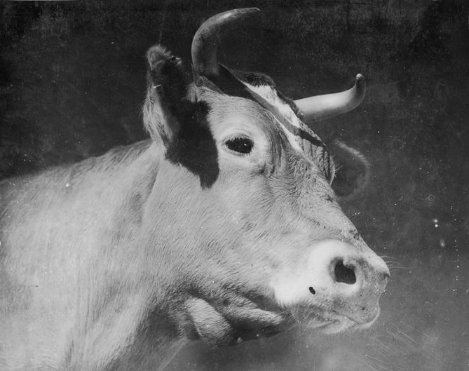 """Portrait of Linetta, a champion Guernsey dairy cow from Adohr Farms in Reseda, circa 1937. The accompanying caption reads: """"Few dairy cows attain such fame as Linetta of Adohr. For three years she has been judged the Grand Champion Guernsey of California. She was Reserve Grand Champion at the National Dairy Show in Dallas, 1936. She is the heroine of Adohr's feature length movie in color, 'The Story of Linetta.'"""" Adohr Farms Collection. San Fernando Valley History Digital Library."""