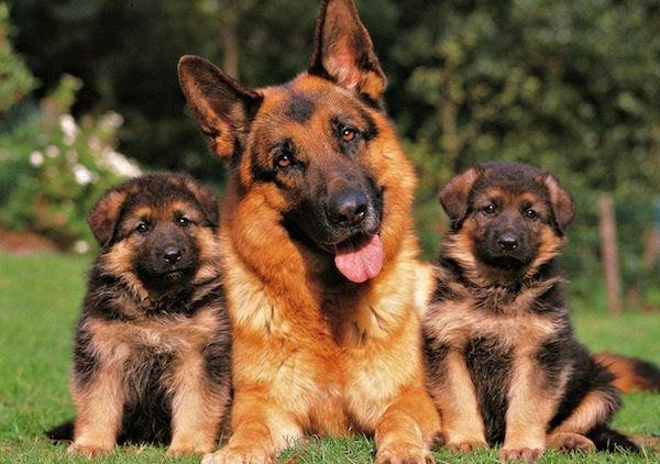 El pastor alemán, es un perro de protección, fiel hasta la muerte, super cariños y con una de las mentes más inteligentes del mundo canino, su estampa sentado es la mejor que existe.