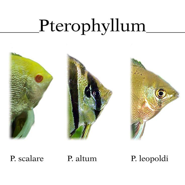 Pez Angel | Pterophyllum Scalare