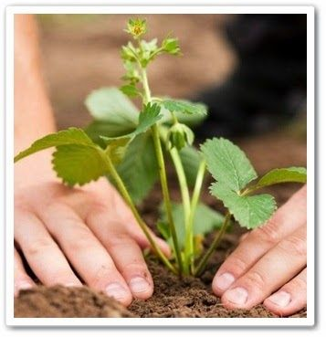 Видео урок Как сажать землянику осенью