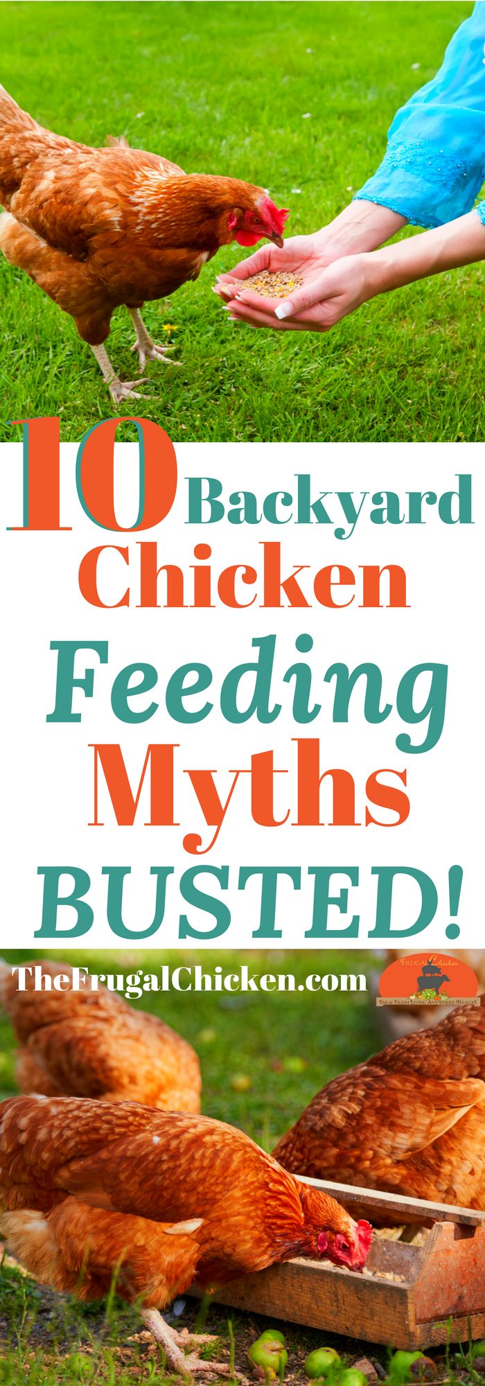 Heard you can't feed eggs to backyard chickens? What about tomatoes? Here's the top 10 chicken feeding myths - BUSTED!