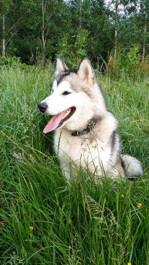 Alaskan malamute. Love this breed