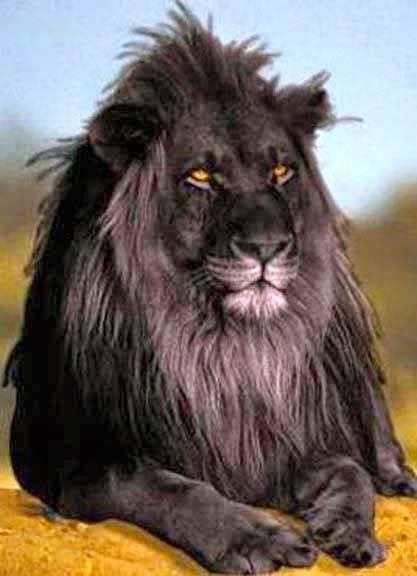 The opposite of albinism called melanism, a recessive trait where the skin and fur are all black