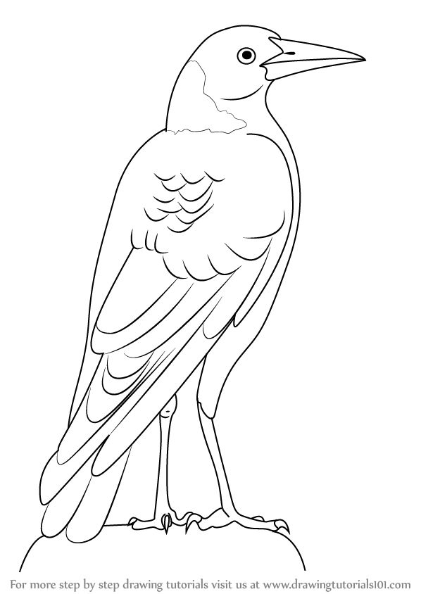 Learn How to Draw an Australian Magpie (Birds) Step by