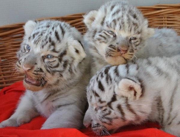 Evento: sono nati quattro tigrotti bianchi in Giappone, allo zoo di Saitama!