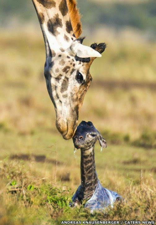 maliaria: Parto de girafa: filhote chega ao mundo em queda de 2 metros