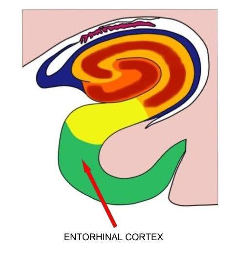 Entorhinal cortex - definition — Neuroscientifically Challenged