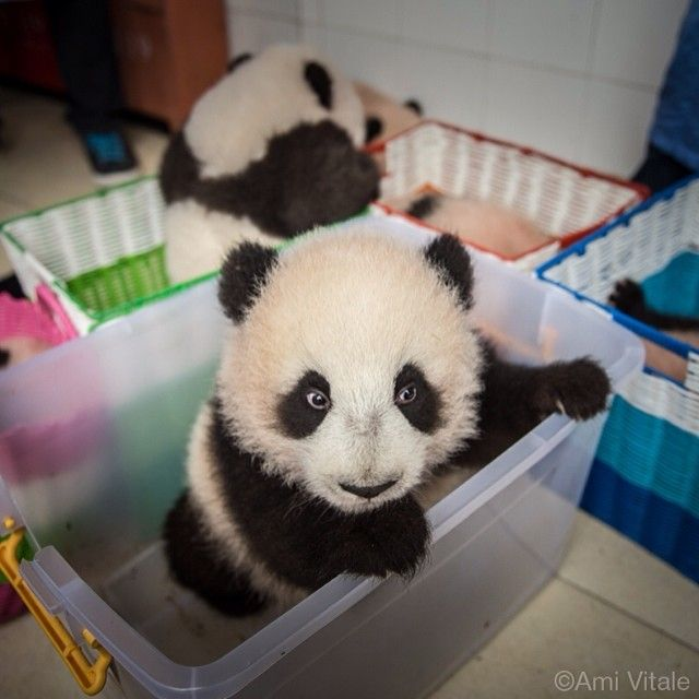 Photo by @amivitale. A baby captive bred #panda