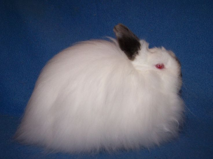 jersey wooly rabbit | ... Youth Trio - Jersey Wooly Rabbits For Sale Mini Rex Rabbits For Sale