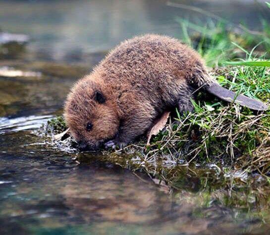Little baby Beaver