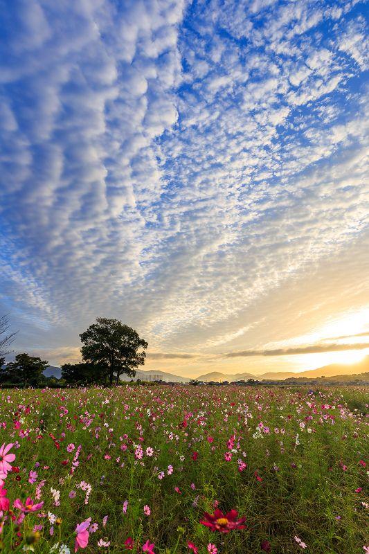 美しい朝焼けに出会えたコスモス畑。  久しぶりに感激した朝でした。  (※10月10日撮影)     藤原宮跡で夜明け待ち。 すごく良...