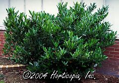 cherry laurel - Evergreen Shrubs