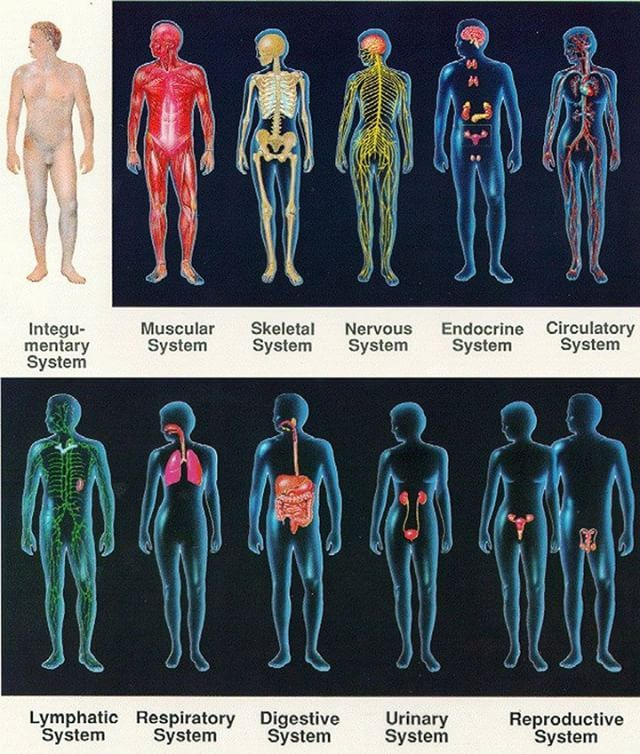 The main systems of the human body are as follows: Integumentary system/ Exocrine system: Skin hair nails sweat and other exocrine glands. Muscular system/Skeletal system: Enables the body to move using muscles. Bones supporting the body and its organs. Nervous system: Collects and processes information from the senses via nerves and the brain and tells the muscles to contract to cause physical actions. Endocrine system: Provides chemical communications within the body using hormones…