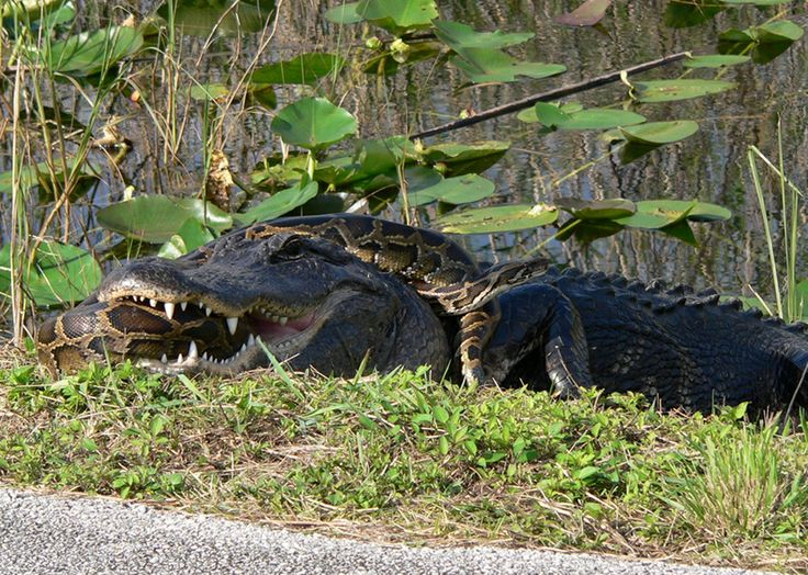 Nonnative Burmese pythons can compete directly with other top predators in the Everglades ecosystem, such as this American alligator.