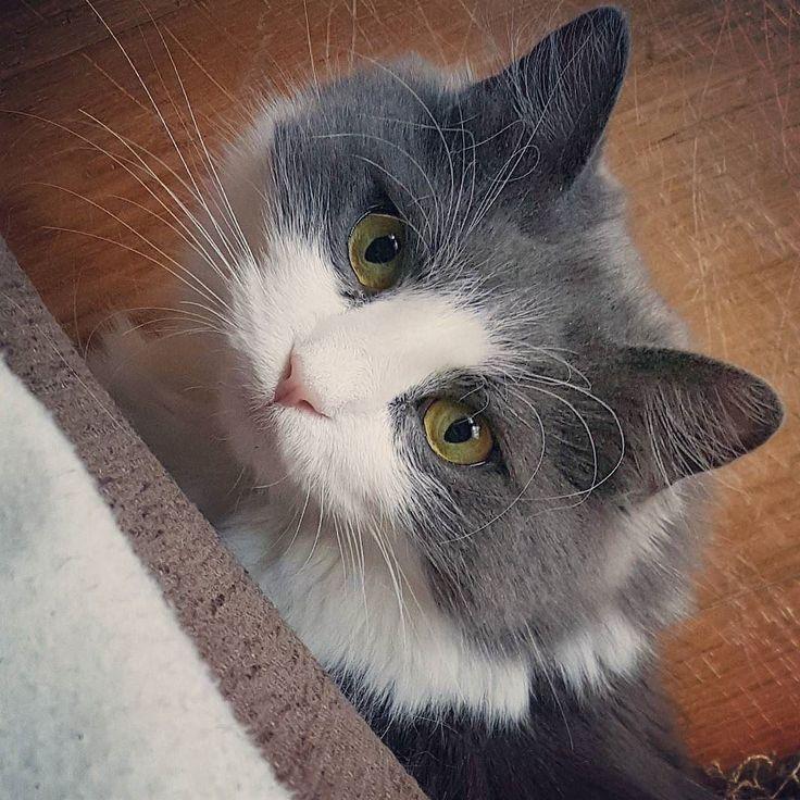 Do you want to play with me? #kissa #cat #catlovers #instacat #igcat #ig_cat #catsofinstagram #catstagram #petlovers #pets #mikuthecat #cutenessoverload #lifestyleblogger #nelkytplusblogit #åblogit