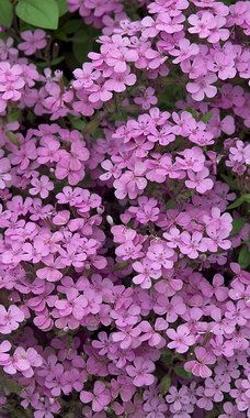 'Soapwort' - Saponaria Ocymoides - A favorite perennial, it spills over raised flower beds in a cloud of pink. Zones 3-8