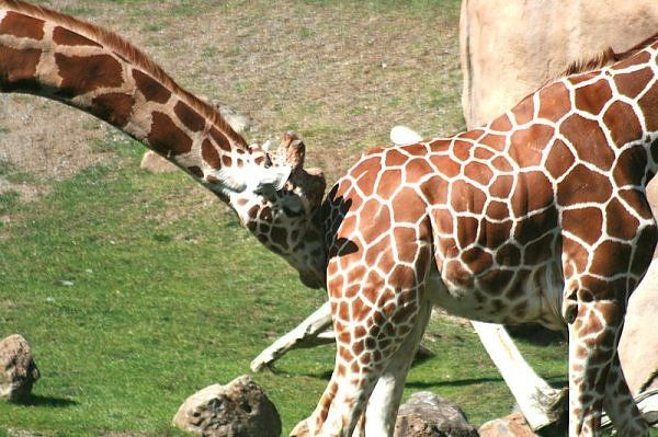Before mating, a male giraffe will bump a female in the ...  Before mating, ...