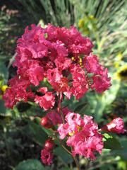 Lagerstroemia indica 'Victor'  - Plant Finder