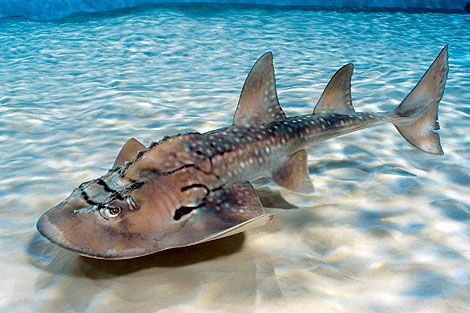 The bowmouth guitarfish (Rhina ancylostoma), also called the shark ray or mud skate, is a species of ray and the sole member of the family Rhinidae.  A rare fish, it is vulnerable to extinction for numerous reasons:  fins for soup, bycatch, food, blast fishing, coral bleaching, siltation, and more.