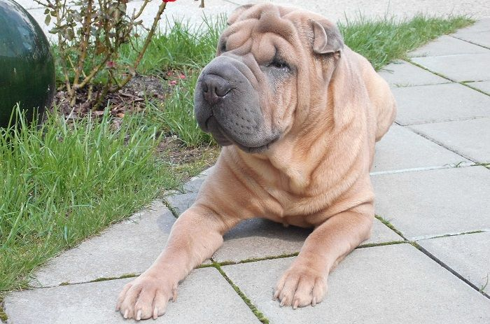 #CleanIngredients  Dermatitis in dogs: Shar Peis suffering itching and dermatitis #dogs #cats