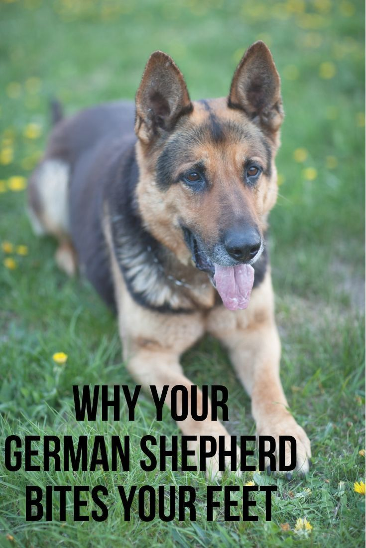 Why Does My German Shepherd Bite My Feet And Ankles In 2020